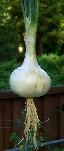 first onion of the summer